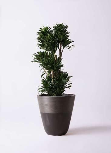 観葉植物 ドラセナ コンパクター 10号 ジュピター 黒 付き