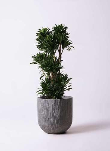 観葉植物 ドラセナ コンパクター 10号 カルディナダークグレイ 付き