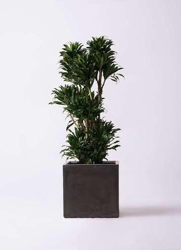 観葉植物 ドラセナ コンパクター 10号 ファイバークレイ キューブ 付き