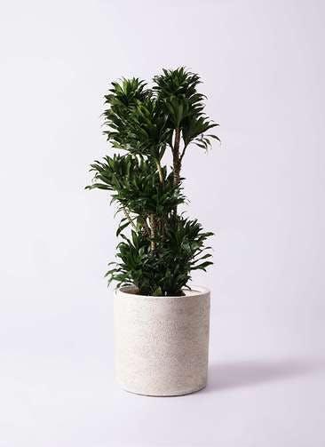 観葉植物 ドラセナ コンパクター 10号 サンディ シリンダー 白 付き