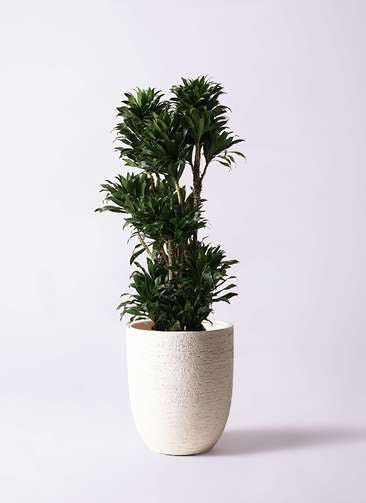 観葉植物 ドラセナ コンパクター 10号 ビアスアルトエッグ 白 付き