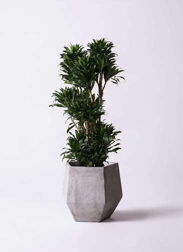 観葉植物 ドラセナ コンパクター 10号 ファイバークレイGray 付き
