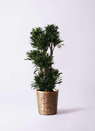 観葉植物 ドラセナ コンパクター 10号 竹バスケット 付き
