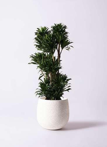 観葉植物 ドラセナ コンパクター 10号 エコストーンwhite 付き
