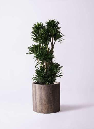観葉植物 ドラセナ コンパクター 10号 アルファシリンダープランター 付き
