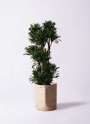 観葉植物 ドラセナ コンパクター 10号 リブバスケットNatural 付き