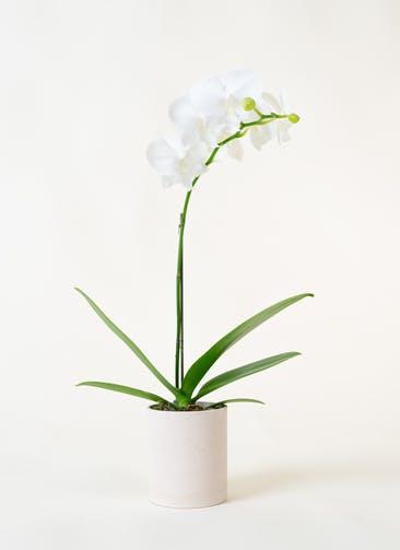 ミニ胡蝶蘭 白 1本立ち ウッド(白)鉢付き