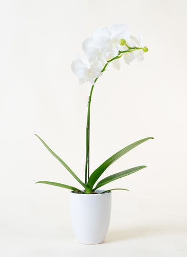 ミニ胡蝶蘭 白 1本立ち 陶器(白)鉢付き