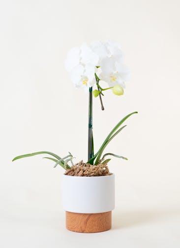 ミニ胡蝶蘭 白 1本立ち ツートンウッド鉢付き