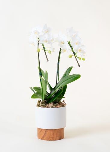 ミニ胡蝶蘭 白 2本立ち ツートンウッド鉢付き