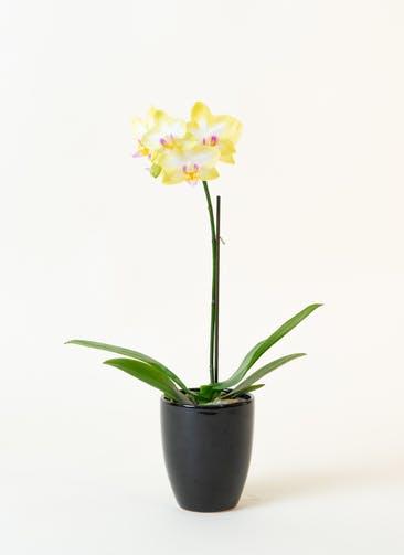 ミニ胡蝶蘭 黄色 1本立ち 陶器(黒)鉢付き