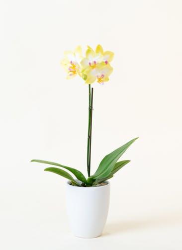 ミニ胡蝶蘭 黄色 1本立ち 陶器(白)鉢付き