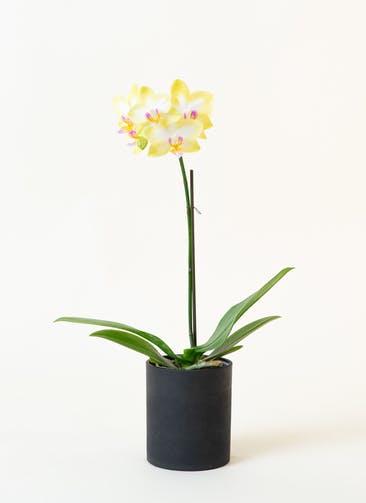 ミニ胡蝶蘭 黄色 1本立ち ウッド(黒)鉢付き