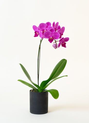 ミニ胡蝶蘭 ピンク 1本立ち ウッド(黒)鉢付き