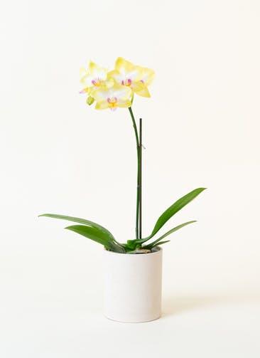 ミニ胡蝶蘭 黄色 1本立ち ウッド(白)鉢付き
