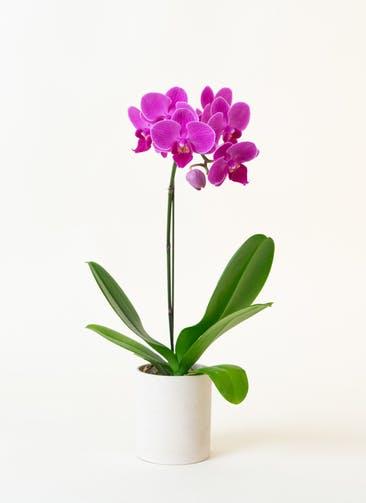ミニ胡蝶蘭 ピンク 1本立ち ウッド(白)鉢付き