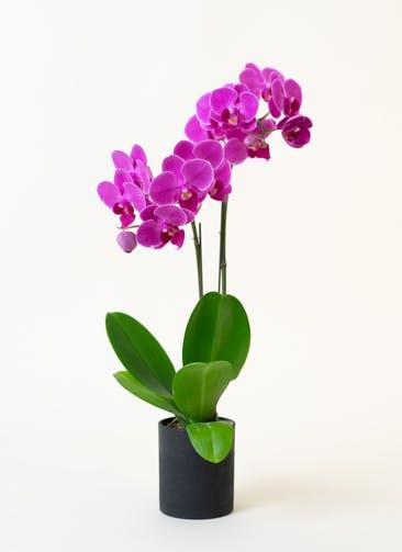 ミニ胡蝶蘭 ピンク 2本立ち ウッド(黒)鉢付き