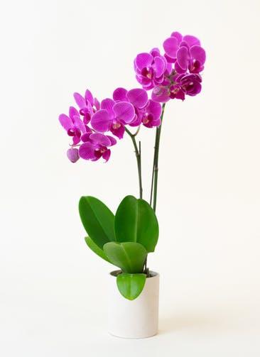 ミニ胡蝶蘭 ピンク 2本立ち ウッド(白)鉢付き
