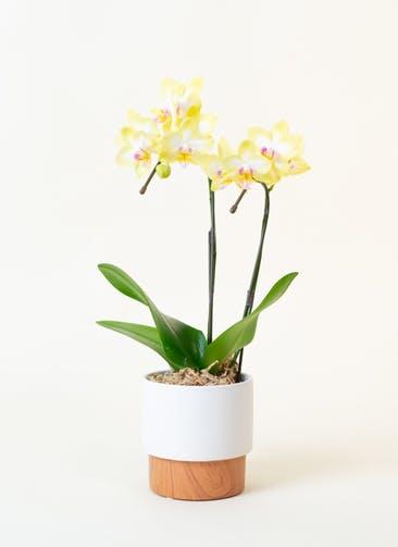 ミニ胡蝶蘭 黄色 2本立ち ツートンウッド鉢付き
