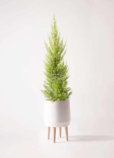 観葉植物 ゴールドクレスト 6号 ノーマル ファイバークレイ white 付き