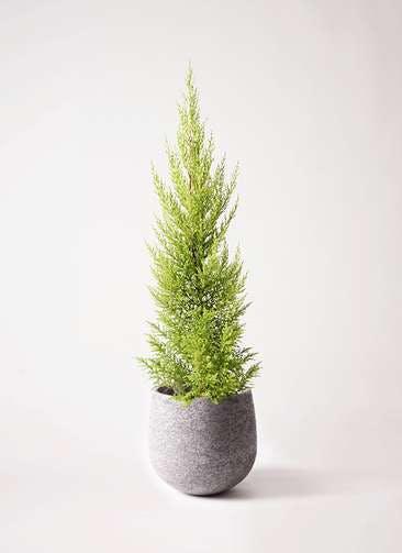観葉植物 ゴールドクレスト 6号 ノーマル エコストーンGray 付き