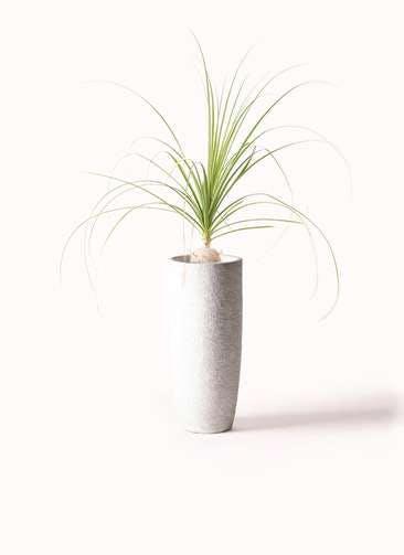 観葉植物 トックリラン 6号 エコストーントールタイプ white 付き