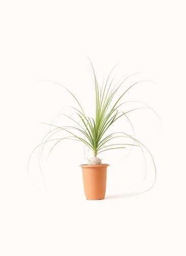 観葉植物 トックリラン 6号 プラスチック鉢