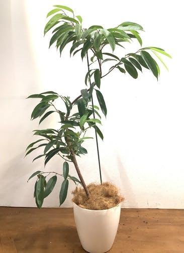 観葉植物 【142cm】アムステルキング  8号 曲り #33470 ラスターポット付き
