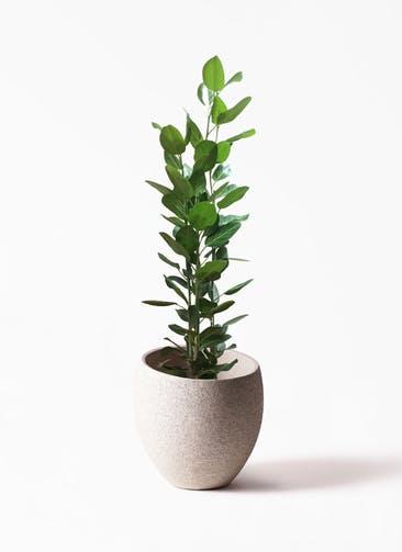 観葉植物 フィカス ベンガレンシス 10号 寄せ Eco Stone(エコストーン)  Light Gray 付き
