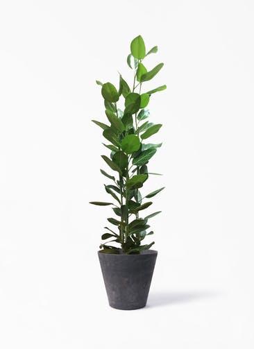 観葉植物 フィカス ベンガレンシス 10号 寄せ アートストーン ラウンド  ブラック 付き