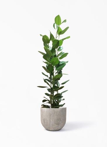 観葉植物 フィカス ベンガレンシス 10号 寄せ バル ユーポット  アンティークセメント 付き
