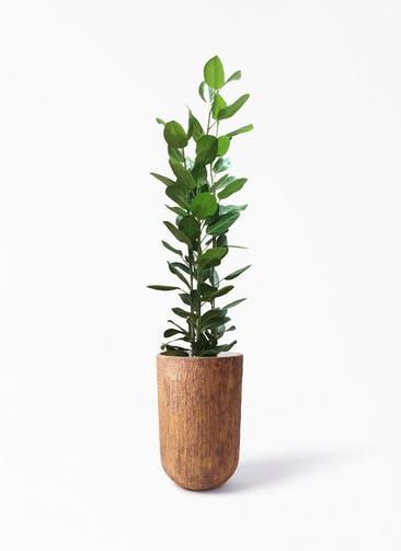 観葉植物 フィカス ベンガレンシス 10号 寄せ バル トール  ラスティ 付き