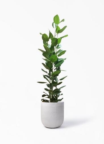 観葉植物 フィカス ベンガレンシス 10号 寄せ バルゴ モノ   ライトグレー 付き