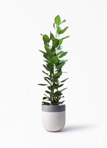 観葉植物 フィカス ベンガレンシス 10号 寄せ バルゴ ツートーン  サンディホワイト 付き