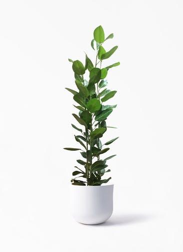 観葉植物 フィカス ベンガレンシス 10号 寄せ アユラニ ライレイ  付き