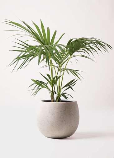 観葉植物 ケンチャヤシ 8号 テラニアス ローバルーン アンティークホワイト 付き