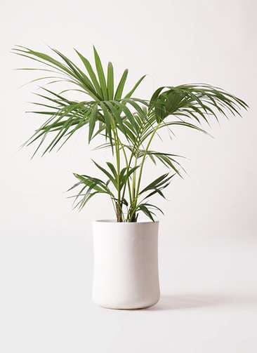 観葉植物 ケンチャヤシ 8号 バスク ミドル ホワイト 付き