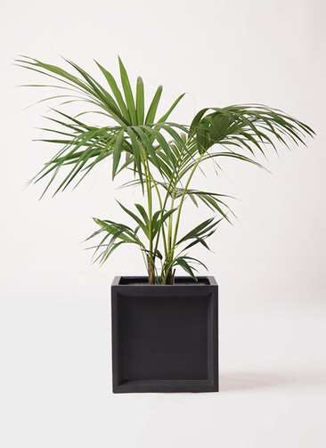 観葉植物 ケンチャヤシ 8号 ブリティッシュキューブ 付き