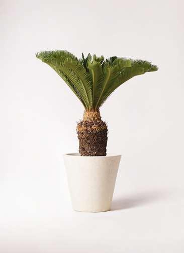 観葉植物 ソテツ 10号 フォリオソリッド クリーム 付き
