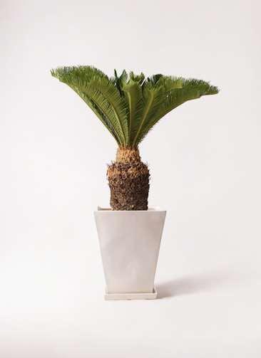 観葉植物 ソテツ 10号 スクエアハット 白 付き
