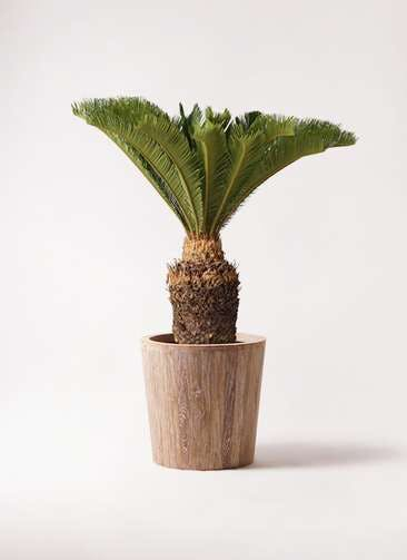 観葉植物 ソテツ 10号 ウッドプランター 付き