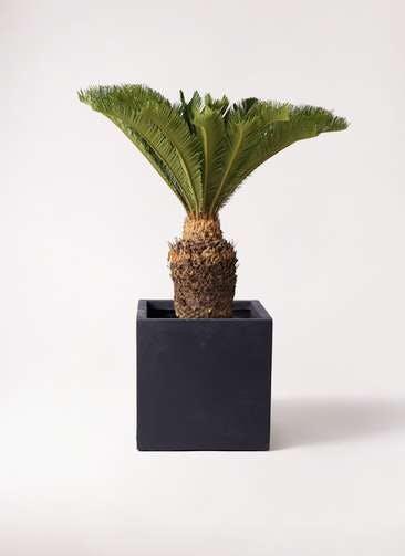 観葉植物 ソテツ 10号 ベータ キューブプランター 黒 付き