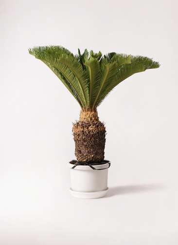 観葉植物 ソテツ 10号 プラスチック鉢