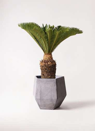 観葉植物 ソテツ 10号 ファイバークレイGray 付き