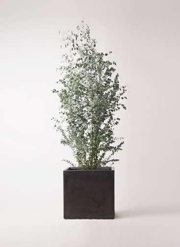 観葉植物 ユーカリ 10号 グニー ファイバークレイ キューブ 付き