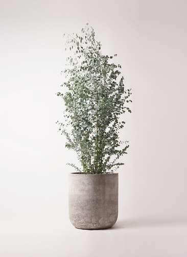 観葉植物 ユーカリ 10号 グニー エルバ 白 付き