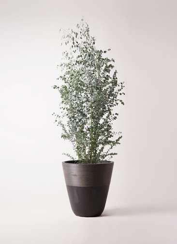 観葉植物 ユーカリ 10号 グニー ジュピター 黒 付き