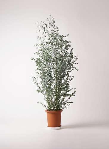観葉植物 ユーカリ 10号 グニー プラスチック鉢