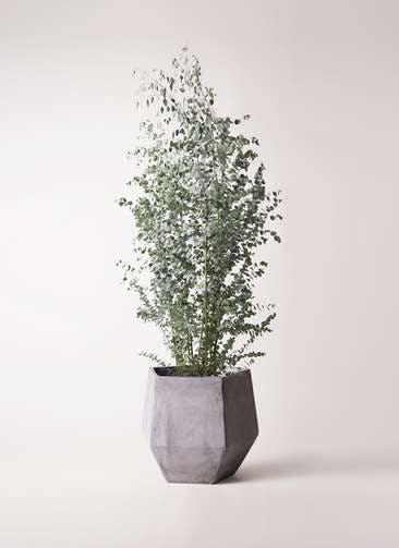 観葉植物 ユーカリ 10号 グニー ファイバークレイGray 付き