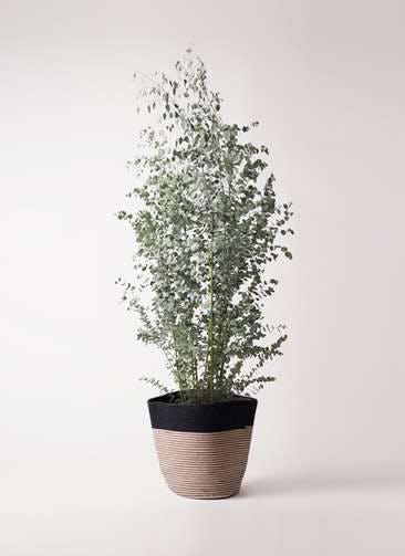 観葉植物 ユーカリ 10号 グニー リブバスケットNatural and Black 付き